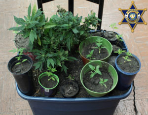 Seized Marijuana Plants 05172017